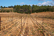 Domaine de Montcalmes in Puechabon. Terrasses de Larzac. Languedoc. Grenache grape vine variety. France. Europe. Vineyard.