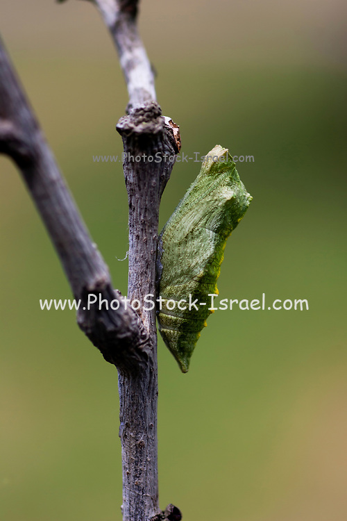 Pupa of an Old World Swallowtail (Papilio machaon) AKA Common yellow swallowtail Butterfly on a flower Photographed in Israel, Summer June. This species, is native to Europe and Asia.