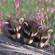 Raccoon, (Procyon lotor) Young in field of Shooting Star flowers. Montana. Captive Animal.