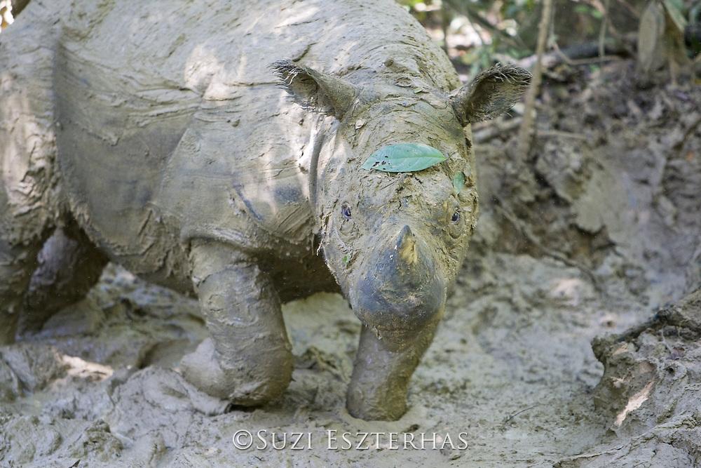 Sumatran Rhinoceros <br /> Dicerorhinus sumatrensis<br /> Cooling off in mud wallow during midday heat<br /> Sumatran Rhino Sanctuary, Way Kambas National Park, Indonesia<br /> *Critically Endangered<br /> *Captive