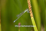 06329-00204 Eastern Forktail Damselfly (Ischnura verticalis) male in wetland, Marion Co., IL
