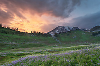 Sunset over wildflower meadows of Paradise containing a mixture of Broadleaf Lupines, and American Bistort. Mount  Rainier National Park, Washington
