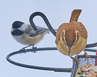 Carolina Wren (Thryothorus ludovicianus), Black-capped Chickadee. Image taken with a Fuji X-T3 camera and 200 mm f/2 OIS lens with a 1.4x teleconverter.