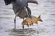 Adult heron spears a migrating carp in Farmington Bay.
