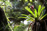 Camanducaia_MG, Brasil...Detalhe de uma bromelia em um tronco na Floresta da Bruxa...Detail of bromeliad on the trunk in the Bruxa forest...Foto: LEO DRUMOND / NITRO.....