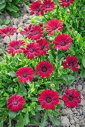 Osteospermum 'Serenity Red' - - African daisy