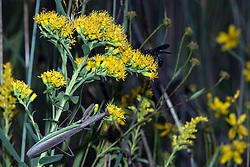 A Praying Mantis and a Great Black Digger Wasp look to a Stiff-leaved Goldenrod plant for food.