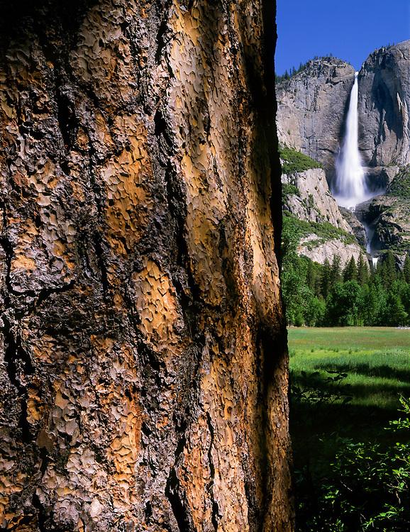 Ponderosa pine and  Yosemite Falls, spring, Yosemite National Park, California, USA