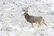 Wyoming mule deer buck  during the fall rut (Odocoileus hemionus)