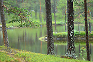 Taiga boreal forest in Kvikkjokk in the Laponia UNESCO World Heritage Site, Greater Laponia rewilding area, Lapland, Norrbotten, Sweden