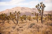 Joshua Trees in the Mojave Desert in the Mojave National Preserve, San Bernardino, CA