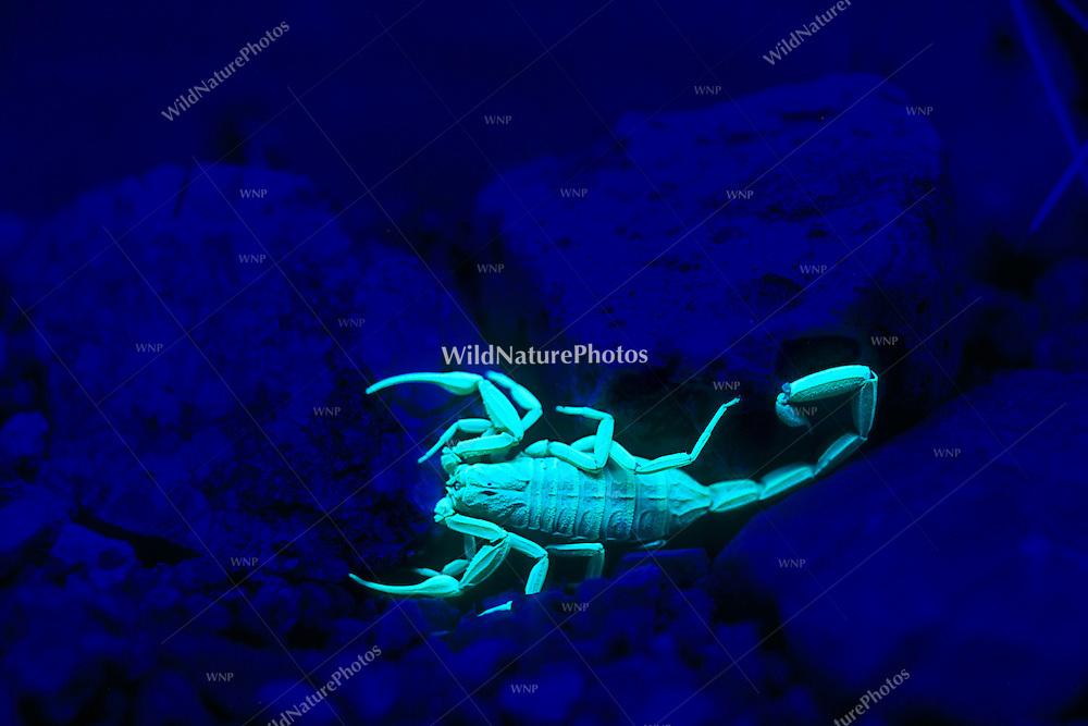 Bark Scorpion (Centruroides exilicauda) fluorescing under UV light at night (Arizona)