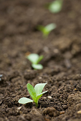 Young newly planted cerinthe seedlings spaced 18in apart. Shows planting distance