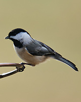 Black-capped Chickadee (Poecile atricapillus). Image taken with a Fuji X-T3 camera and 200 mm f/2 lens + 1.4x teleconverter.