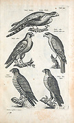 Birds of prey 17th-century artwork. This artwork is from 'Historiae naturalis de quadrupetibus' (1657) by Polish scholar and physician John Jonston (1603-1675).