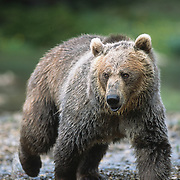 Grizzly Bear (Ursus horribilis) fishing for trout in a high mountain lake in southwest Montana. Captive Animal