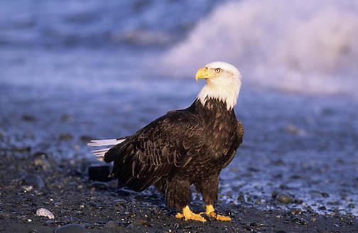 Bald Eagle, (Haliaeetus leucocephalus) Adult on beach. Aleutian Islands. Alaska.