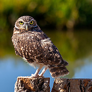 A male Burrowing Owl (Athene cunicularia) at Wildlife Rescue, Inc. of New Mexico (wrinm.org)