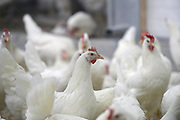 Nederland, the Netherlands, Oirlo, 10-10-201724.000 Kippen, leghennen, in de hypermoderne en meest duurzame kippenstal ter wereld.  De Kipster moet een kippenbedijf zijn wat milieuvriendelijk en diervriendelijk eieren produceert.De kippen komen komende week in de stal. Drie sterren voor beter leven. Via zonnepanelen op het dak wordt eigen stroom opgewekt.Foto: Flip Franssen