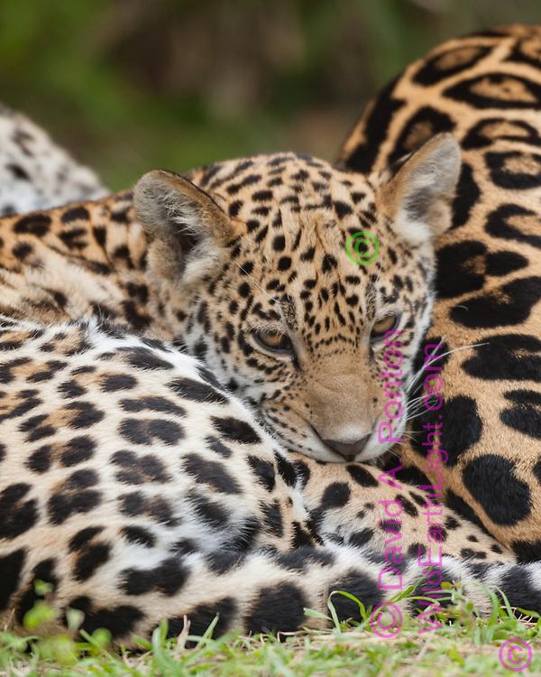 Jaguar cub curled up next to its mother, © David A. Ponton, USA