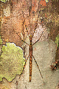Stick insect, probably Varieganecroscia sp., from Tanjung Puting National Park, Kalimantan, Borneo (Indonesia).