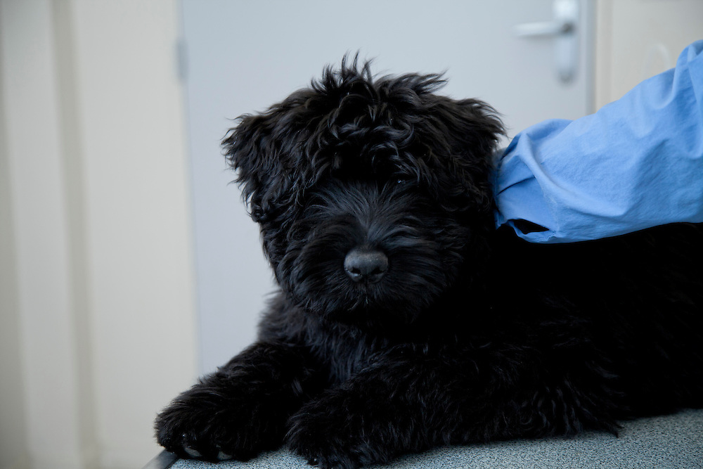 Bouvier des Flandres puppy (Cannis Familaris) on clinic table. France