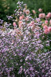 Aster 'Vasterival' syn. Symphyotrichum novi-belgii 'Vasterival' - Michaelmas daisy