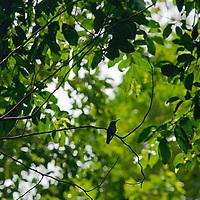 A hummingbird perches on a branch in Peru's Amazon Jungle.