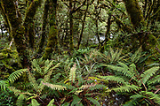Fern forest, on the Routeburn Track in Fiordland National Park, near Te Anau, Southland region, South Island of New Zealand. In 1990, UNESCO honored Te Wahipounamu - South West New Zealand as a World Heritage Area.