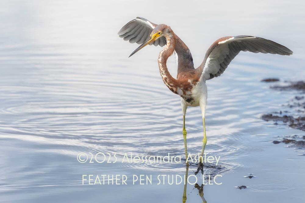Tricolored heron, Egretta tricolor, performs animated dance while fishing at Merrritt Island NWR on Florida's Atlantic coast. Finalist, 2018 Festival de l'Oiseau et de la Nature international wild bird photo competition.