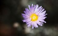 Mojave-Aster, Xylorhiza tortifolia