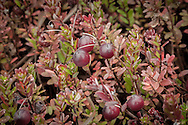 Wild cranberries grow in bogs laying in the hollows between  the dunes of the Provincelands Area of Cape Cod National Seashore.