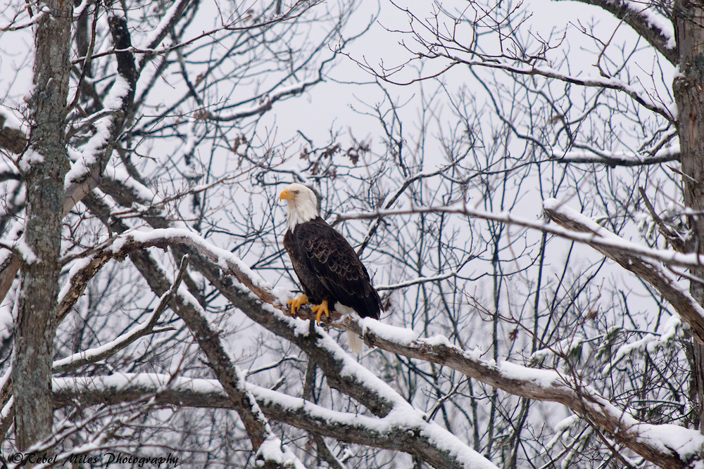 Bald Eagle Waiting For It's Next Meal
