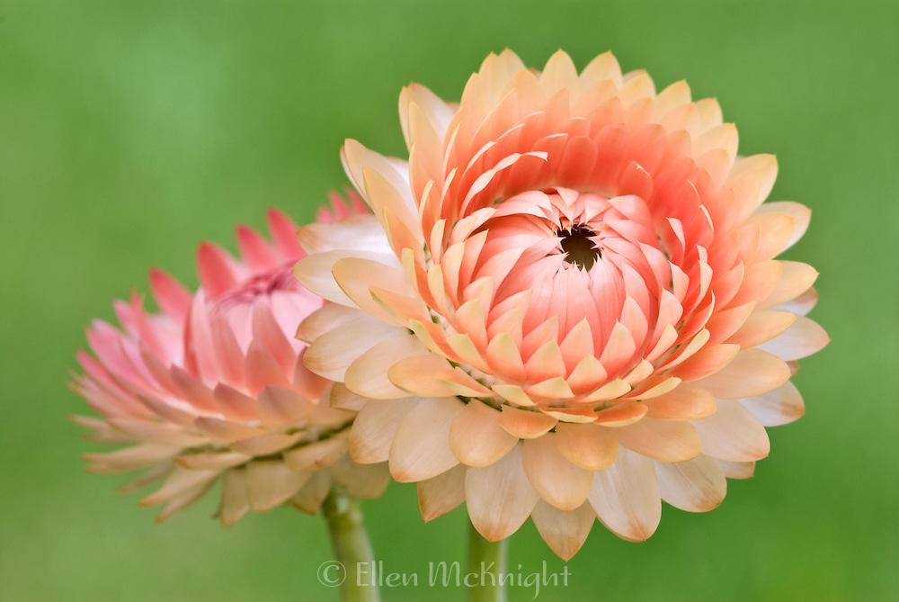Strawflowers - Helichrysum bractreatum