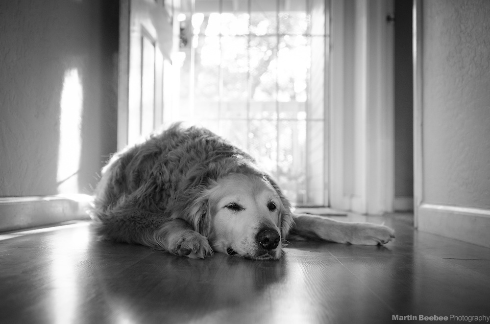 A dog (golden retriever) rests in the late afternoon sun
