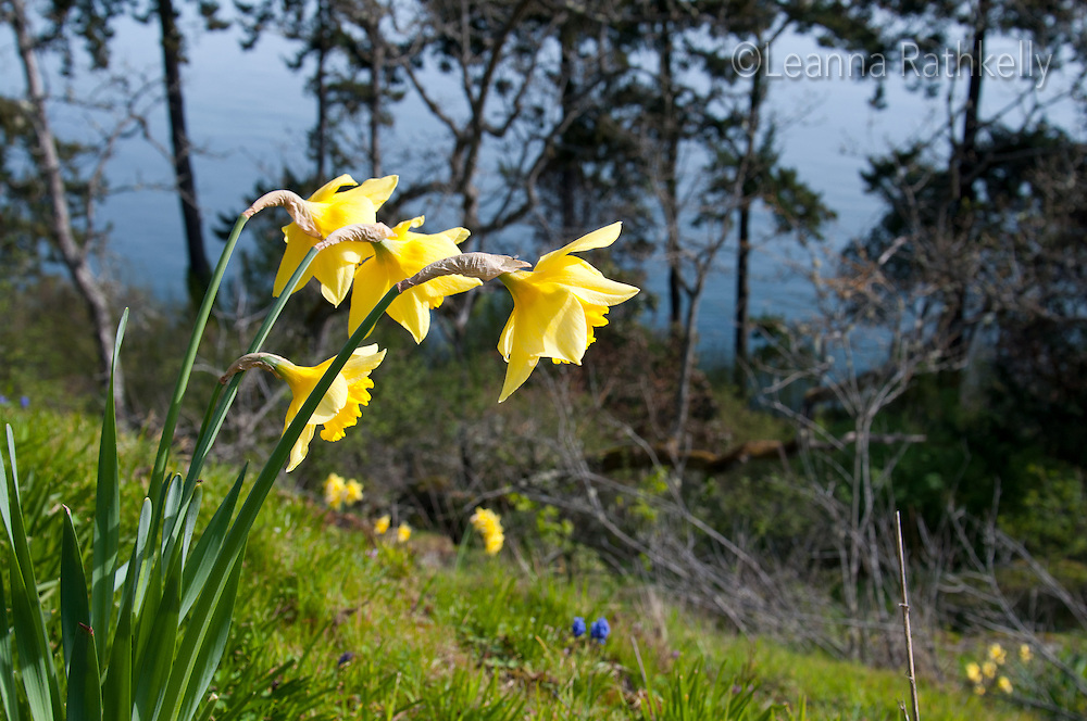 Daffodils turn toward the ocean on sunny slope in Victoria, BC