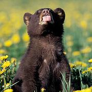 Black Bear, (Ursus americanus)  Cub playing in dandelion field. Montana. Spring. Captive Animal.