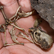Owl pellet dissection showing a rodent skull, mandible, tibia, scapula and other bones. Owls eat their prey whole, the digestion process removes the meat and then concentrates the remains into a pellet that is eventually regurgitated.