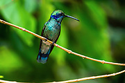 The lesser violetear (Colibri cyanotus), also known as the mountain violet-ear, is a medium-sized, metallic green hummingbird species commonly found in forested areas from Costa Rica to northern South America. Photographed in Costa Rica in June