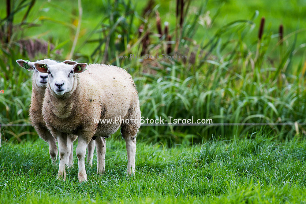 A pair of sheep Photographed in Giethoorn a town in the province of Overijssel, Netherlands It is located in the municipality of Steenwijkerland, about 5 km southwest of Steenwijk. As a popular Dutch tourist destination both within Netherlands and abroad,