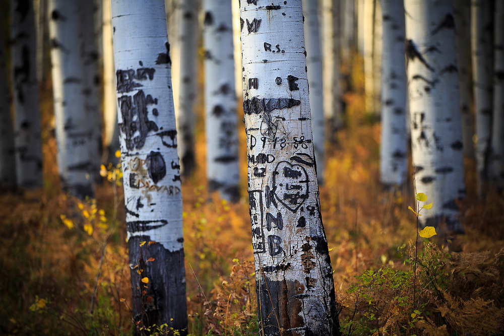Carvings into aspen tree trunks litter the forest like nomes in Autumn Aspen Colorado.