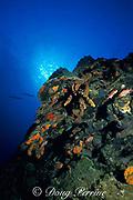 reef wall, St. Kitts, <br /> ( Eastern Caribbean Sea )