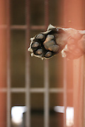 Underside of tigers paw through the bars in a cage