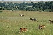 Kenya, Masai Mara, A pride of Lions