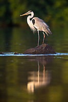 A cocoi heron, Ardea cocoi, standing on rock in the middle of a river.