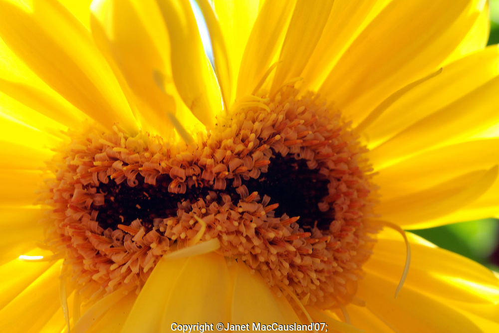 This Gerber Daisy has a double center, like Siamese twins. It is fairly common to find this with Gerber daisies. I show the underside in the next image.