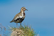 The Eurasian Golden Plover, Pluvialis apricaria, is a largish plover.