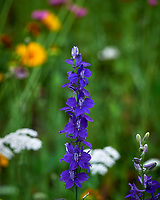 Larkspur/Delphinium. Image taken with a Leica SL2 camera and 55-135 mm lens