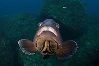 Dusky Grouper (Epinephelus marginatus) - 'endangered' in IUCN Red List<br /> France: Corsica, Lavezzi Islands, Cala di Grecu<br /> [digitally cleaned]