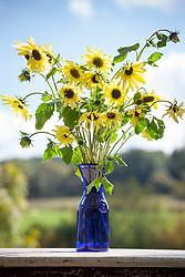 Arrangement of Helianthus 'Lemon Queen' in blue vase. Sunflower.